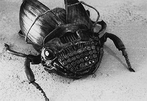 otherzine beetle